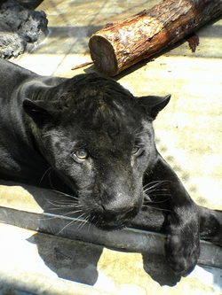 070129_blackjaguar